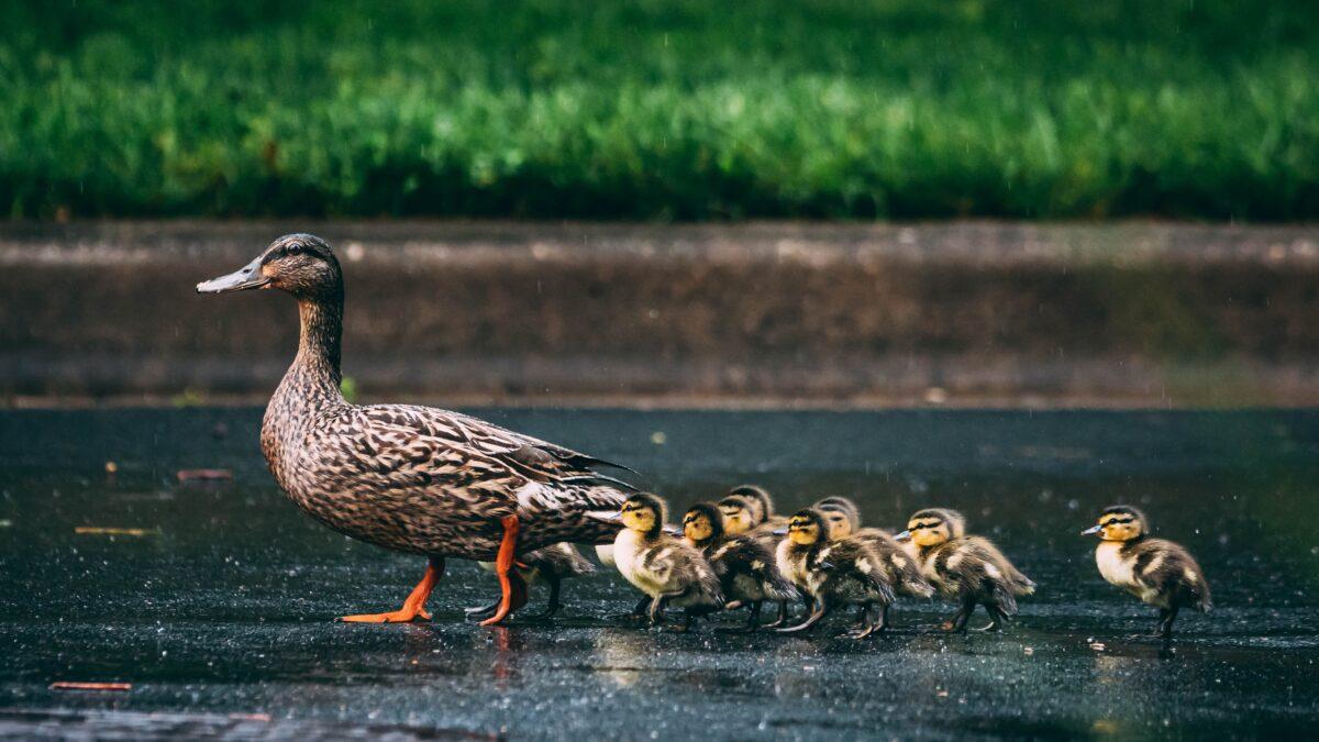 Ducks in the city